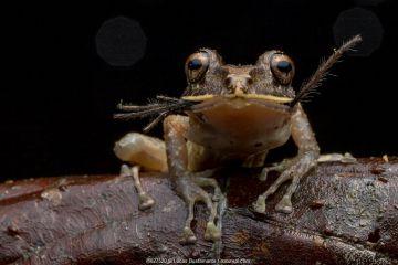 Labiated rainfrog (Pristimantis labiosus) feeding on spider prey, Mashpi, Pichincha, Ecuador