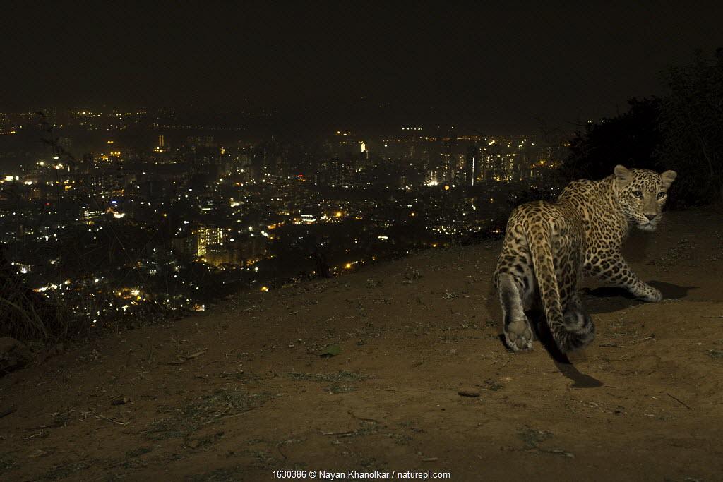 Leopard (Panthera pardus) at night with city lights behind, Mumbai, India. November 2018. Camera trap image.