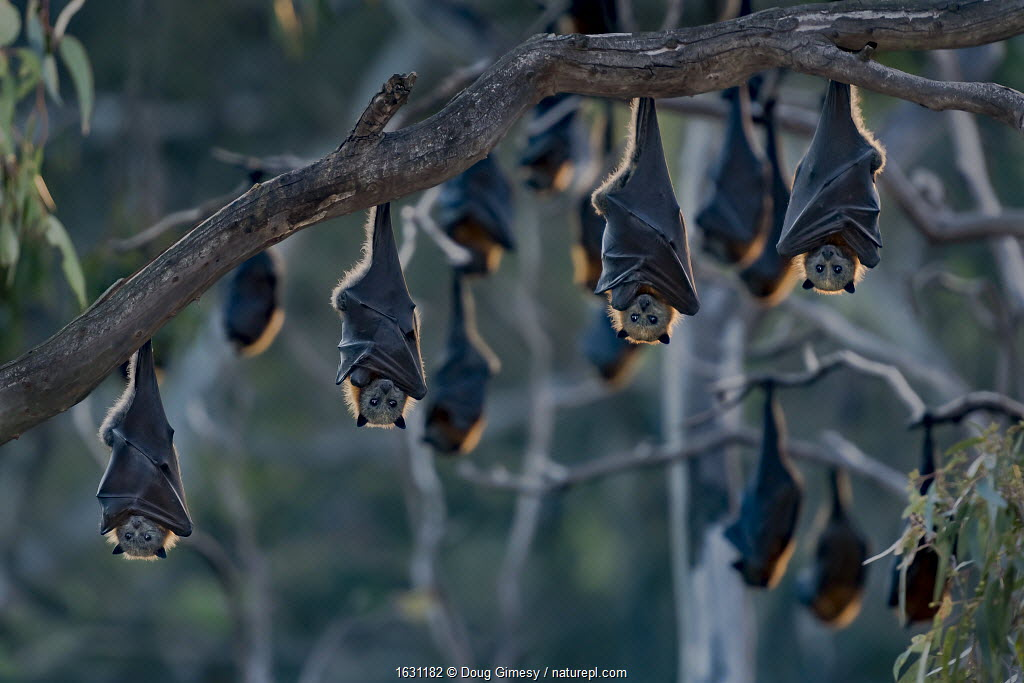 Grey-headed flying-foxes (Pteropus poliocephalus) at a colony hang together at sunset on a branch over the Yarra Bend Park, Kew, Victoria, Australia.