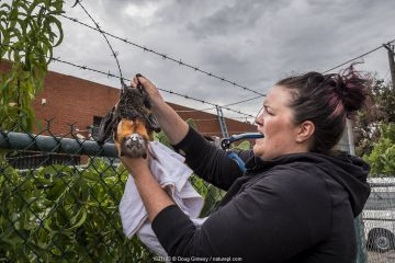 Wildlife rescuer and head of Fly-by-Night Bat Clinic, Tamsyn Hogarth, attempting to cut down a Grey-headed Flying-fox (Pteropus poliocephalus), that had become entangled in barbed-wire fencing. Victoria, Australia.