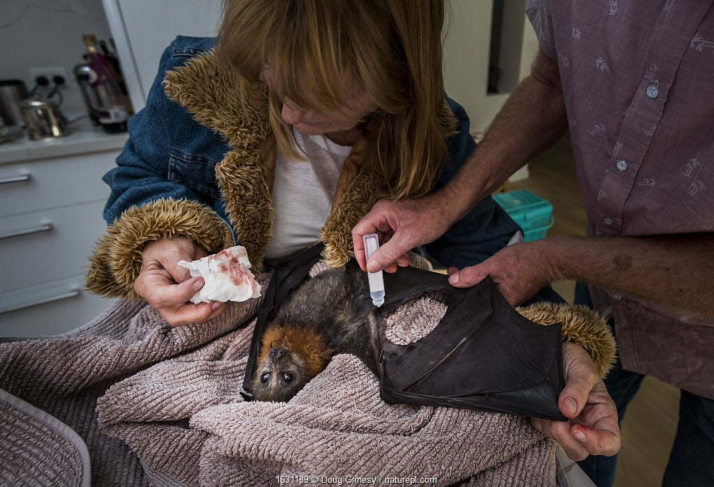 Wildlife bat rescuers, Dr Paul Smith and Beverly Brown, treat a Grey-headed Flying-fox (Pteropus poliocephalus) in their home, whose wind had been torn after being caught in barbed-wire. Black Rock, Victoria, Australia.