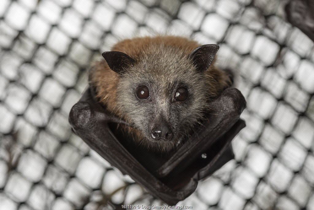 Portrait of a rescued and rehabilitated Grey-headed Flying-foxes (Pteropus poliocephalus) that have just been transported to a 'soft-release' enclosure. Hanging from the roof of its home and looks down. Yarra Bend Park, Fairfield, Victoria, Australia.