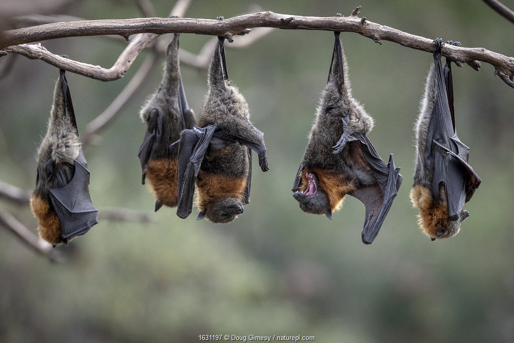 Grey-headed Flying-foxes (Pteropus poliocephalus) at a colony hang together on a branch over the Yarra River, Melbourne, Kew, Victoria, Australia
