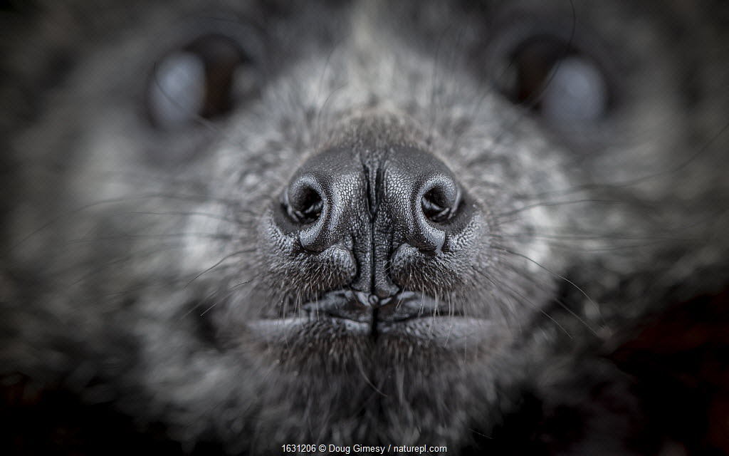 Close up of the nose of a rescued Grey-headed Flying-fox (Pteropus poliocephalus). Gardenvale, Victoria, Australia.