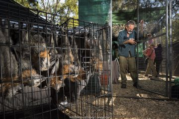 Grey-headed flying-foxes (Pteropus poliocephalus) rescued bats waiting to move in to a soft release cage being built by Parks Victoria and Friends of Bats and Bushcare. Yarra Bend Park, Fairfield, Victoria, Australia.