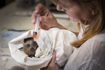 Animal carer Bev Brown caring for a recently rescued Grey-headed flying-fox (Pteropus poliocephalus) that had become entangled in barbed wire that surrounded a factory. Black Rock, Victoria, Australia.