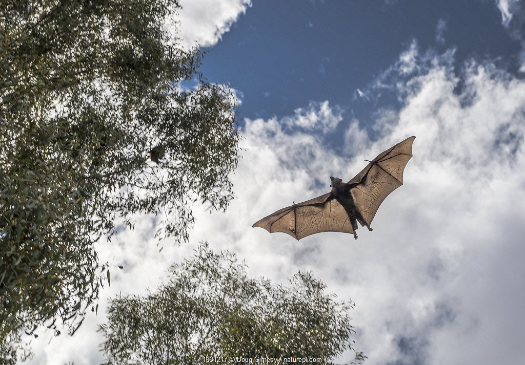 Grey-headed flying-fox (Pteropus poliocephalus) in flight above Bellbird picnic ground having just been released after weeks of home care. It was brought into care after it had become entangled in inappropriate fruit tree netting and its wings were damaged. Yarra Bend Park, Kew, Victoria, Australia.