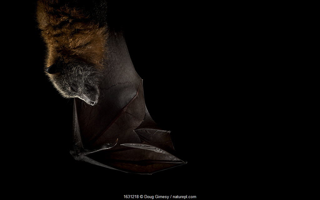Portrait of a rescued Grey-headed flying-foxes (Pteropus poliocephalus) at the Fly-By-Night Bat Clinic, Olinda, Victoria, Australia.
