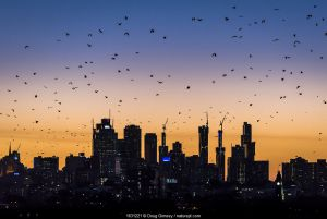 Grey-headed flying-foxes (Pteropus poliocephalus) fly out over Melbourne city skyline looking for food during a summer sunset. Kew, Victoria, Australia.