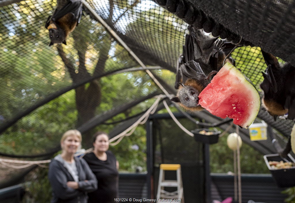 Rescued Grey-headed flying-fox (Pteropus poliocephalus) hanging from the roof of its enclosure whilst eating watermelon at the Fly-By-Night Bat Clinic, Olinda, Victoria, Australia.
