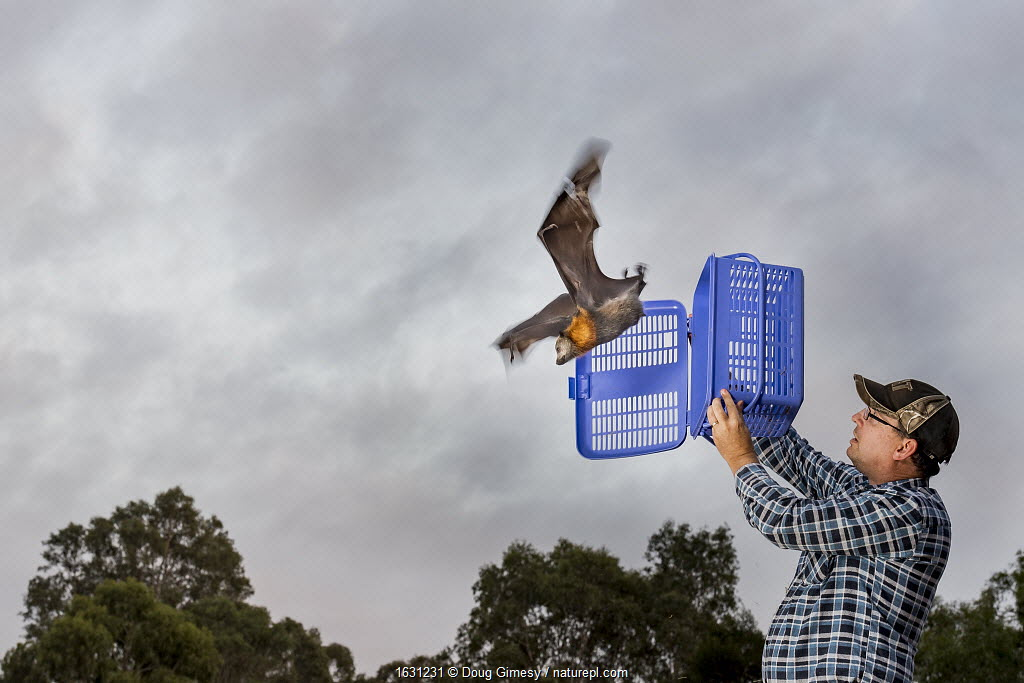 Rescued Grey-headed flying-foxes (Pteropus poliocephalus) is released back into his Melbourne colony by wildlife carer Francois Malherbe. The bat was rescued several months earlier as a result of entanglement in inappropriate back yard fruit tree netting. Yarra Bend Park, Kew, Victoria, Australia.