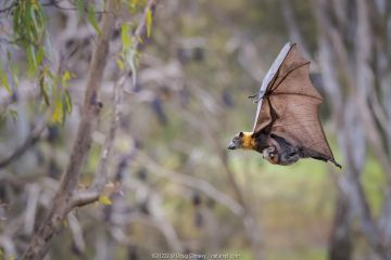 Grey-headed flying foxes (Pteropus poliocephalus) carrying her pup attached to a teat. Yarra Bend Park. Kew, Victoria, Australia.