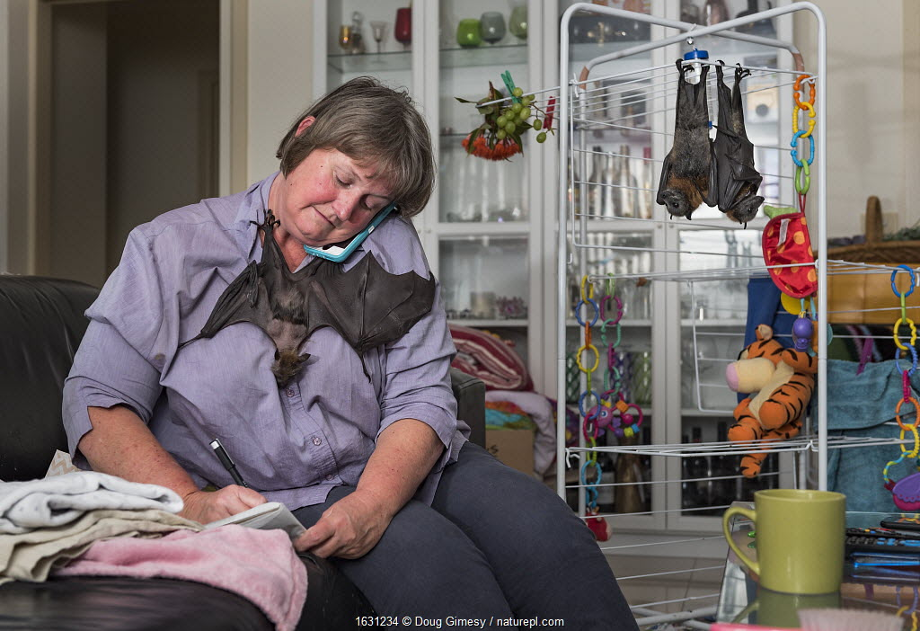 Wildlife carer Julie Malherbe looks after three recently orphaned Grey-headed flying-foxes (Pteropus poliocephalus) in her home whilst simultaneously taking phone calls to manage the next wildlife rescue. Heidelberg Heights, Victoria, Australia.
