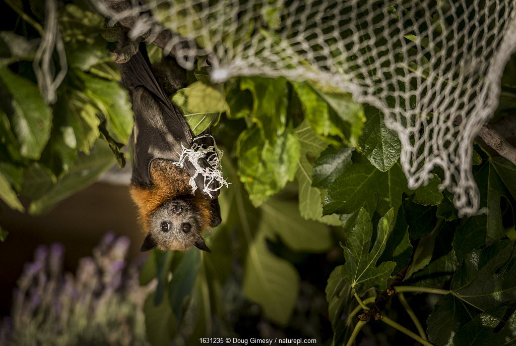 Grey-headed flying-fox (Pteropus poliocephalus) hanging entangled in urban fruit-tree netting. Despite being rescued, the netting had cut the circulation to its wing for too long and so the bat had to be euthanised. Prahran, Victoria, Australia.