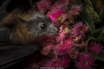 Rescued and orphaned Grey-headed flying-fox (Pteropus poliocephalus) in captivity, feeds on the pollen of a flowering native eucalyptus tree. Fly By Night Bat clinic, Olinda, Victoria, Australia.