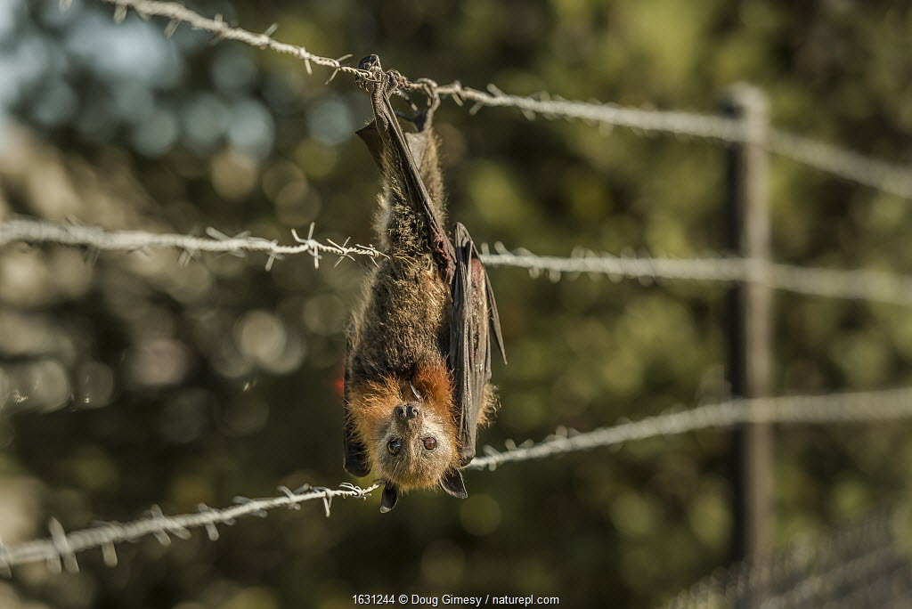 Grey-headed flying-fox (Pteropus poliocephalus), hanging entangled in bared-wire that surrounds a factory which also had fruit trees. Clayton, Victoria, Australia.