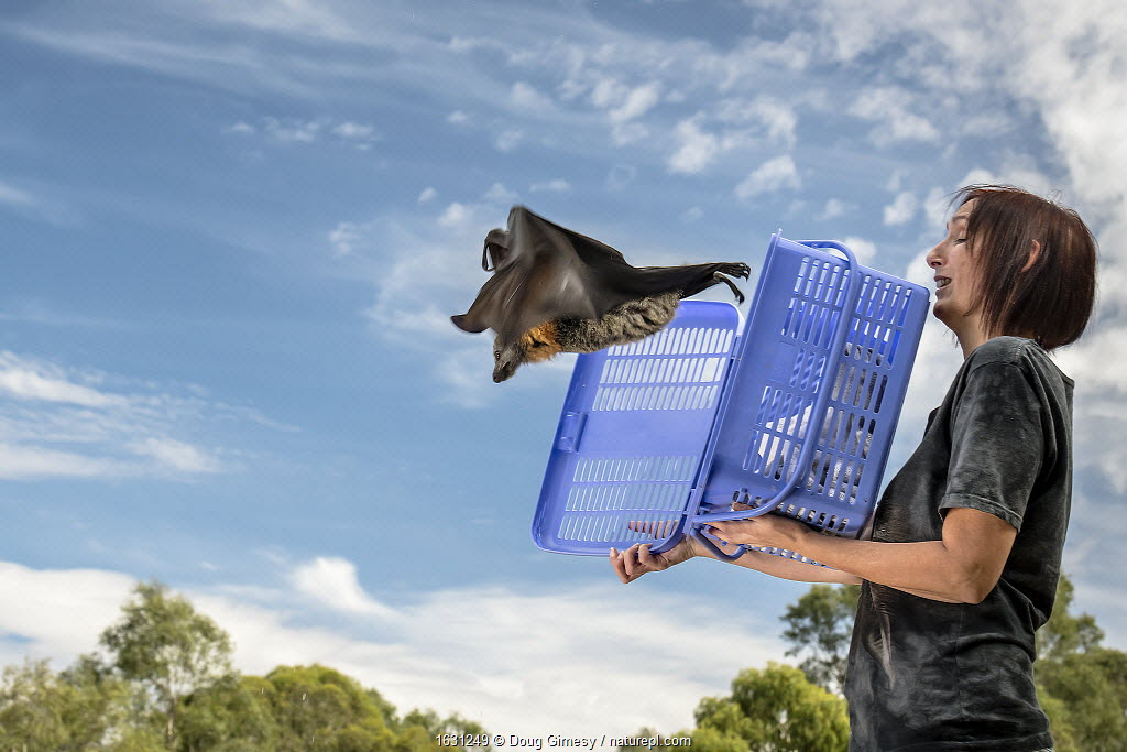 Rescued Grey-headed Flying-fox (Pteropus poliocephalus) named Olive is released back into his Melbourne colony by wildlife carer Treycee Baker. Yarra Bend Park, Kew, Victoria, Australia.