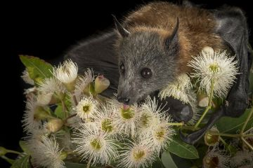 Rescued and orphaned Grey-headed Flying-fox (Pteropus poliocephalus) in captivity, feeds on the nectar of a flowering native eucalyptus tree. Black Rock, Victoria, Australia
