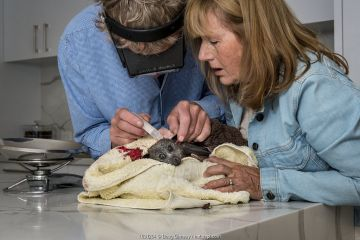 Wildlife bat rescuers, Dr Paul Smith and Beverly Brown, treat a Grey-headed flying-fox (Pteropus poliocephalus) in their home that had been attacked by a dog after being caught in inappropriate fruit-tree netting. Black Rock, Victoria, Australia.