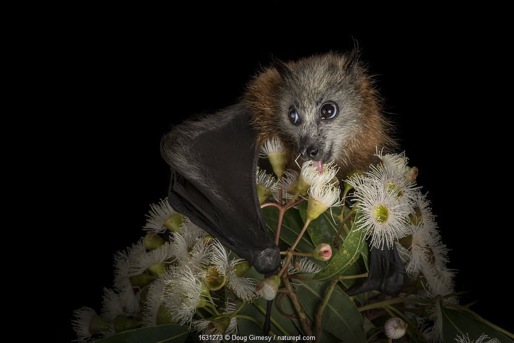 Rescued and orphaned Grey-headed flying-fox (Pteropus poliocephalus) in captivity, feeds on the nectar of a flowering native eucalyptus tree.?Black Rock, Victoria, Australia.