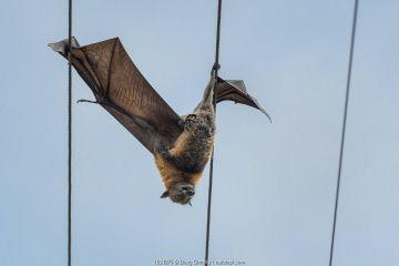 Grey-headed flying-fox (Pteropus poliocephalus) hangs dead between two power lines, killed by electrocution. Elwood, Victoria, Australia.