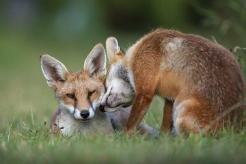 Red fox (Vulpes vulpes) dog interacting with a vixen in an urban garden. North London, UK. July.