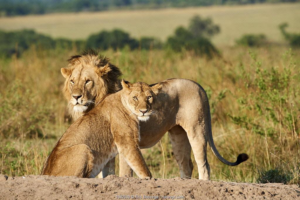 African lion (Panthera leo) and lioness after mating, Masai Mara National Reserve, Kenya.