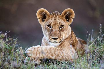 Lion (Panthera leo) cub portrait, Masai Mara National Reserve, Kenya.