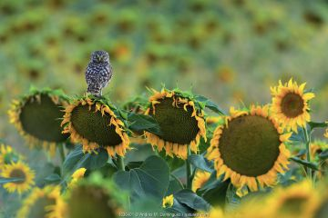Little owl (Athene noctua) perched on sunflower, Cadiz, Andalusia, Spain, July