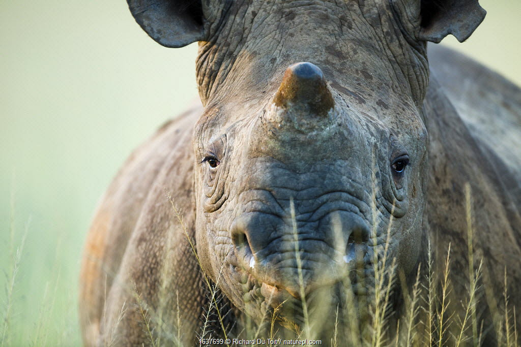 Black rhinoceros (Diceros bicornis) close-up, Itala Game Reserve, KwaZulu-Natal, South Africa. Critically endangered species.