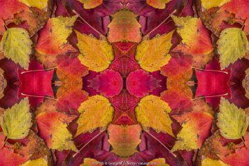 Kaleidoscopic image of autumn leaves. UK.