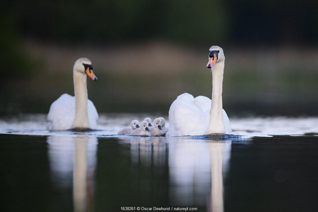 Mute swan (Cygnus olor) cygnets and parents swimming. London, UK. May