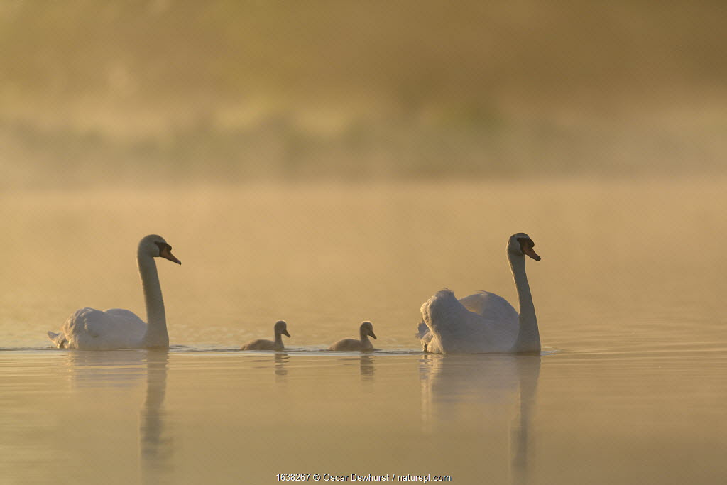 Mute swan (Cygnus olor) parents and cygnets on a misty lake at sunrise. London, UK. May