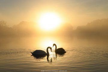 Mute swan (Cygnus olor) pair at sunrise. London, UK. December.