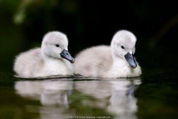 Mute swan (Cygnus olor) cygnets. London, UK. April