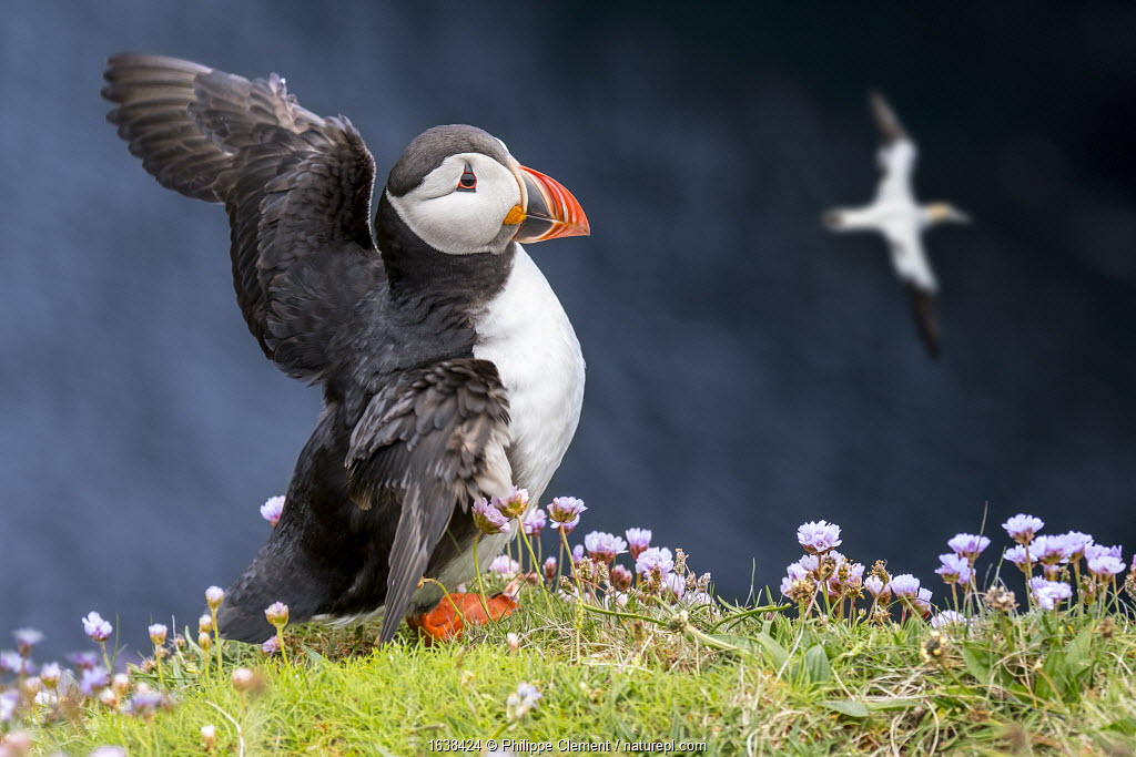 Atlantic puffin (Fratercula arctica) in breeding plumage flapping wings on sea cliff top in seabird colony, Scotland, UK, May. Digital composite