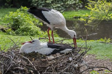 White stork (Ciconia ciconia) male bringing branch for nest building to nesting female in spring, captive.