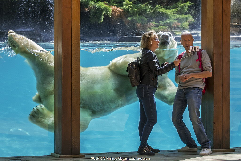 Visitors taking selfie with smartphone while giant polar bear (Ursus maritimus) is swimming past, Zoo de la Fleche, France, September 2019