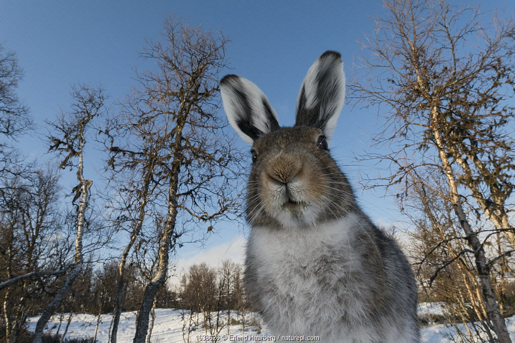 Mountain hare (Lepus timidus) in spring, Vauldalen, Norway, May.