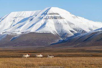Svalbard reindeer (Rangifer tarandus platyrhynchus), Svalbard, Norway, September.