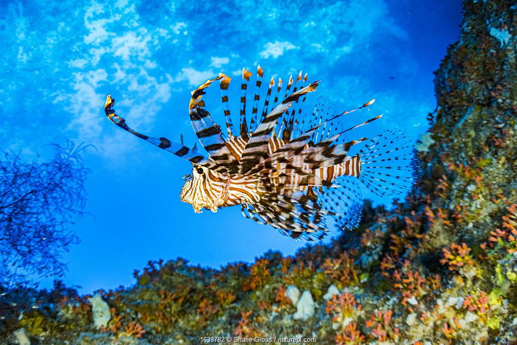 Red lionfish (Pterois volitans) swimming under a coral ledge, Palau.