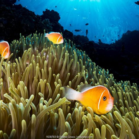 Pink anemonefish (Amphiprion perideraion) living in symbiotic association with Magnificent sea anemone (Heteractis magnifica), Palau