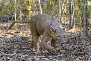 Fosa or Fossa (Cryptoprocta ferox)(sometimes erroneously fossa) male in dry deciduous forest. Kirindy, western Madagascar.