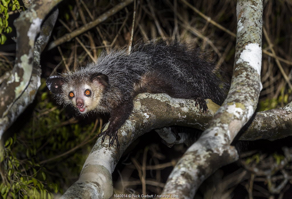 Aye-aye (Daubentonia madagascariensis) adult active and foraging in forest canopy at night. Daraina, northern Madagascar. Endangered endemic species.