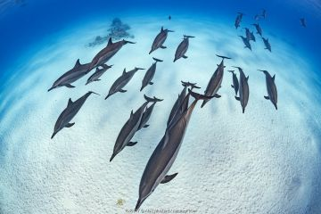 Pod of Spinner dolphins (Stenella longirostris) cruise in formation over the sand of a lagoon while sleeping. Egypt. Red Sea