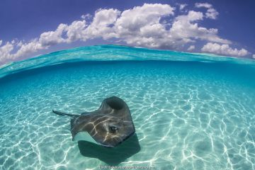 Split level image of a Southern stingray (Dasyatis americana) swimming over a sand bar. Grand Cayman, Cayman Islands. British West Indies. Caribbean Sea.