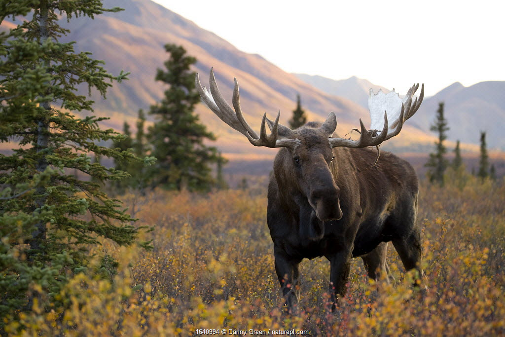 Moose bull (Alces alces) walking in forest clearing, Denali National Park, Alaska, USA, September