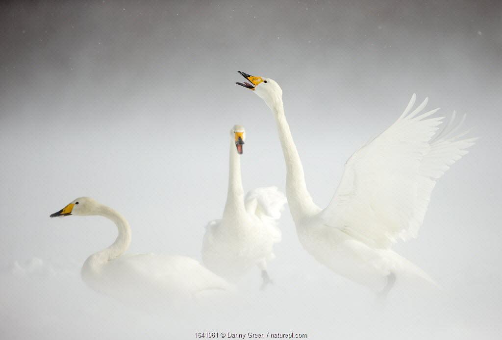 Whooper Swans (Cygnus cygnus) in snow. Japan, February.