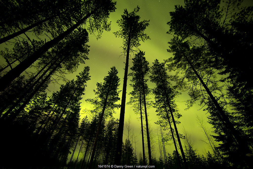 Aurora Borealis above silhouetted trees, northern Finland, March