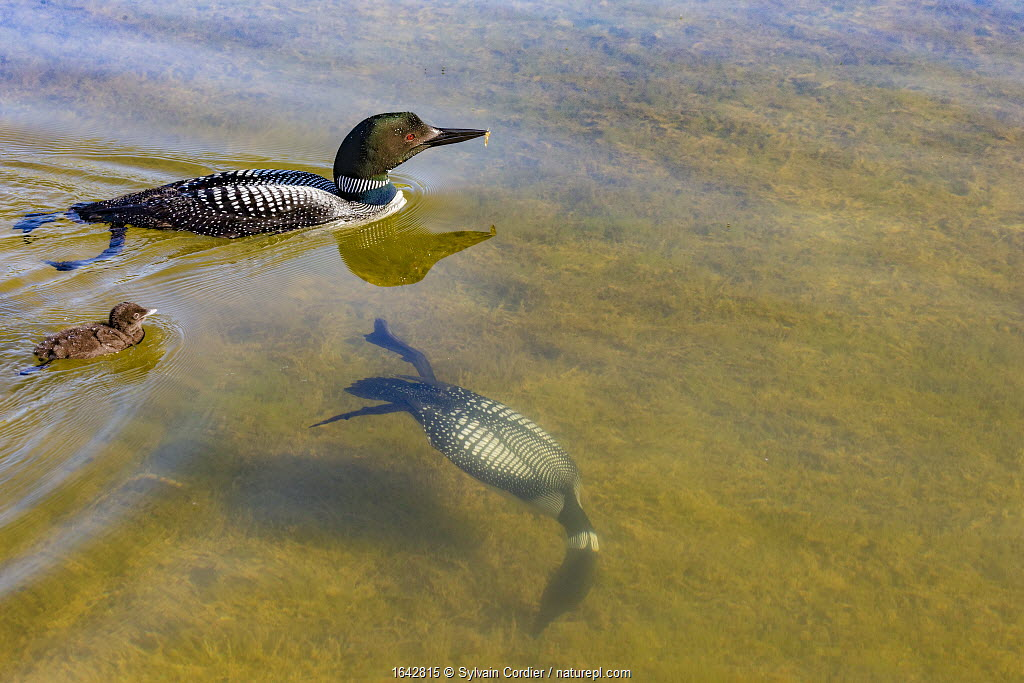 Common Loons (Gavia immer) one diving underwater , Michigan, USA. June.